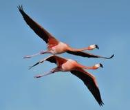 фламингоы фламингоа затора летая озеро Стоковая Фотография RF
