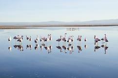 фламингоы стоковое изображение rf