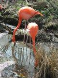 фламингоы Стоковое Изображение