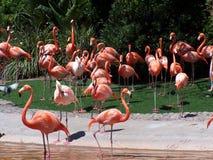 фламингоы Стоковые Фотографии RF