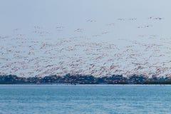 фламингоы flock пинк Лагуна Рекы По Стоковое Фото