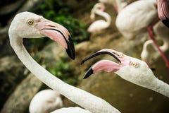 фламингоы pink 2 Стоковое Фото