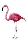 Фламинго акварели Экзотическая иллюстрация wading птицы изолированная на белой предпосылке Для дизайна, печатей или предпосылки Стоковые Фото