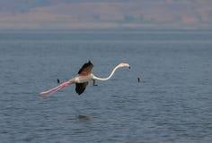 фламинго более большой Стоковые Изображения RF