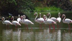 фламинго более большой Стоковое фото RF
