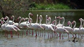 фламинго более большой Стоковое Фото