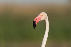 фламинго более большой Стоковая Фотография RF