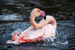 Фламинго брызгая воду стоковые изображения rf