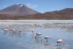 Фламинго в лагуне Hedionda, Боливии, пустыне Atacama Стоковые Изображения RF