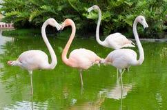 Фламинго в воде стоковые изображения