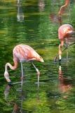Фламинго в зеленой воде Стоковая Фотография RF