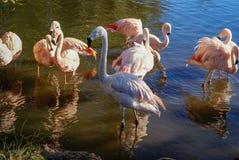 Фламинго в их естественной среде обитания Стоковое Изображение