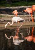 Фламинго в их естественной среде обитания Стоковые Изображения RF