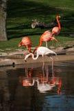Фламинго в их естественной среде обитания Стоковая Фотография
