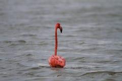 Фламинго в Мексике Стоковые Изображения