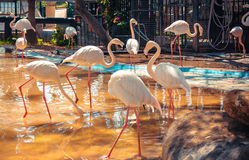 Фламинго в озере Стоковая Фотография RF