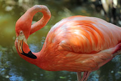 Фламинго в покое Стоковая Фотография RF