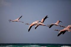 Фламинго в полете Стоковая Фотография