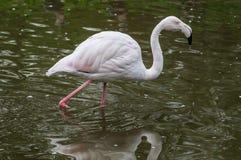 Фламинго в русском зоопарке Стоковое Фото
