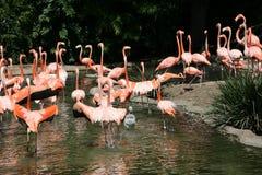 фламинго в США Стоковые Фотографии RF