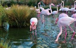 Фламинго в bern Швейцарии Стоковые Изображения