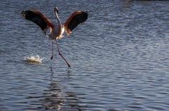 Фламинго в Camargue, Франции Стоковое Изображение RF