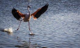 Фламинго в Camargue, Франции Стоковая Фотография RF
