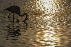 Фламинго в Camargue, Франция Стоковые Фото