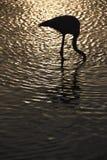 Фламинго в Camargue, Франция Стоковая Фотография