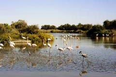 Фламинго в Camargue Стоковые Изображения RF