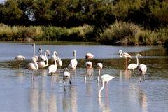 Фламинго в Camargue Стоковая Фотография RF