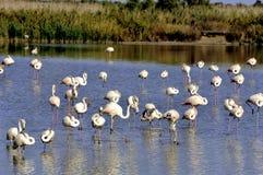 Фламинго в Camargue Стоковое Изображение RF