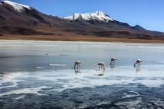 Фламинго в Laguna Verde, Боливии Стоковое Изображение RF
