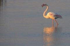 Фламинго в Vlei Стоковое Изображение