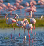 Фламинго группы на озере Кения вышесказанного Национальный парк Nakuru Национальный заповедник Bogoria озера Стоковая Фотография RF