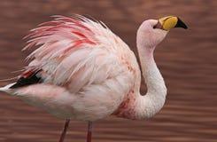 Фламинго Джеймс на Laguna Colorada Боливии стоковое изображение rf