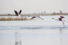 Фламинго летания на Nalsarovar, Гуджарате, Индии Стоковые Фото