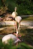 Фламинго, зоопарк Берлина Стоковое фото RF