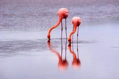 2 фламинго и их отражения Стоковое Фото