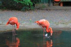 Фламинго и отражение Стоковые Фото