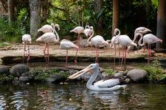 Фламинго и пеликан Стоковое Изображение RF