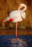 Фламинго красивой розовой большой птицы большой, ruber Phoenicopterus, очищая оперение в синей воде, с солнцем вечера, тростник в стоковое изображение