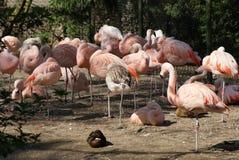 Фламинго младенца в группе Стоковые Изображения RF
