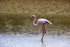 Фламинго Намибия Африка Стоковое Фото