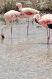 Фламинго, национальный парк Serengeti Стоковая Фотография RF