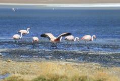 фламинго на озере соли, Боливии Стоковые Изображения