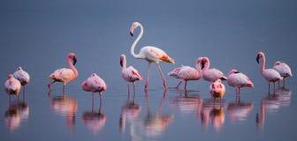 Фламинго на озере с отражением Кения вышесказанного Национальный парк Nakuru Национальный заповедник Bogoria озера стоковое фото