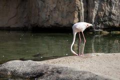 Фламинго около воды Стоковые Фотографии RF