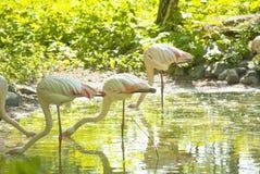Фламинго пася в пруде Стоковая Фотография