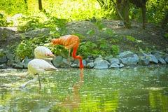 Фламинго пася в пруде Стоковые Изображения RF
